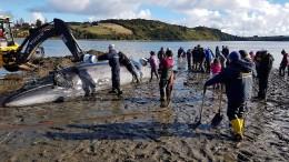 Wie diese Matrosen einen gestrandeten Wal retten