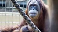Orang Utan bei Ausbruch aus Zoo erschossen