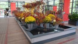 Endspurt mit vielen bunten Chrysanthemen