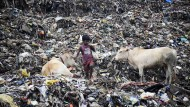Heilige Kühe auf der Mülldeponie