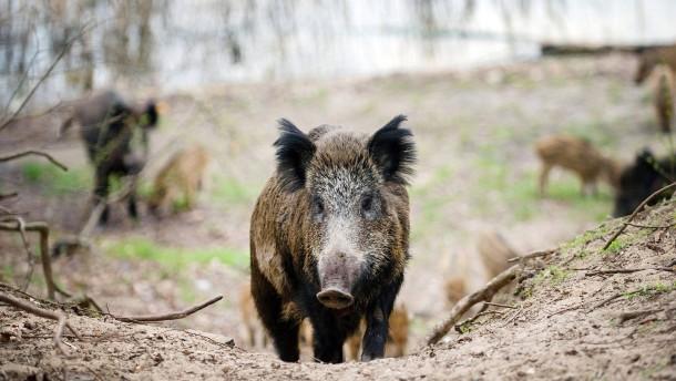 Deutsche Jäger schießen viel mehr Wildschweine