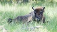Ein Wisent auf der Wiese: Das Gehege der Tiere ist um drei auf sieben Hektar vergrößert worden.