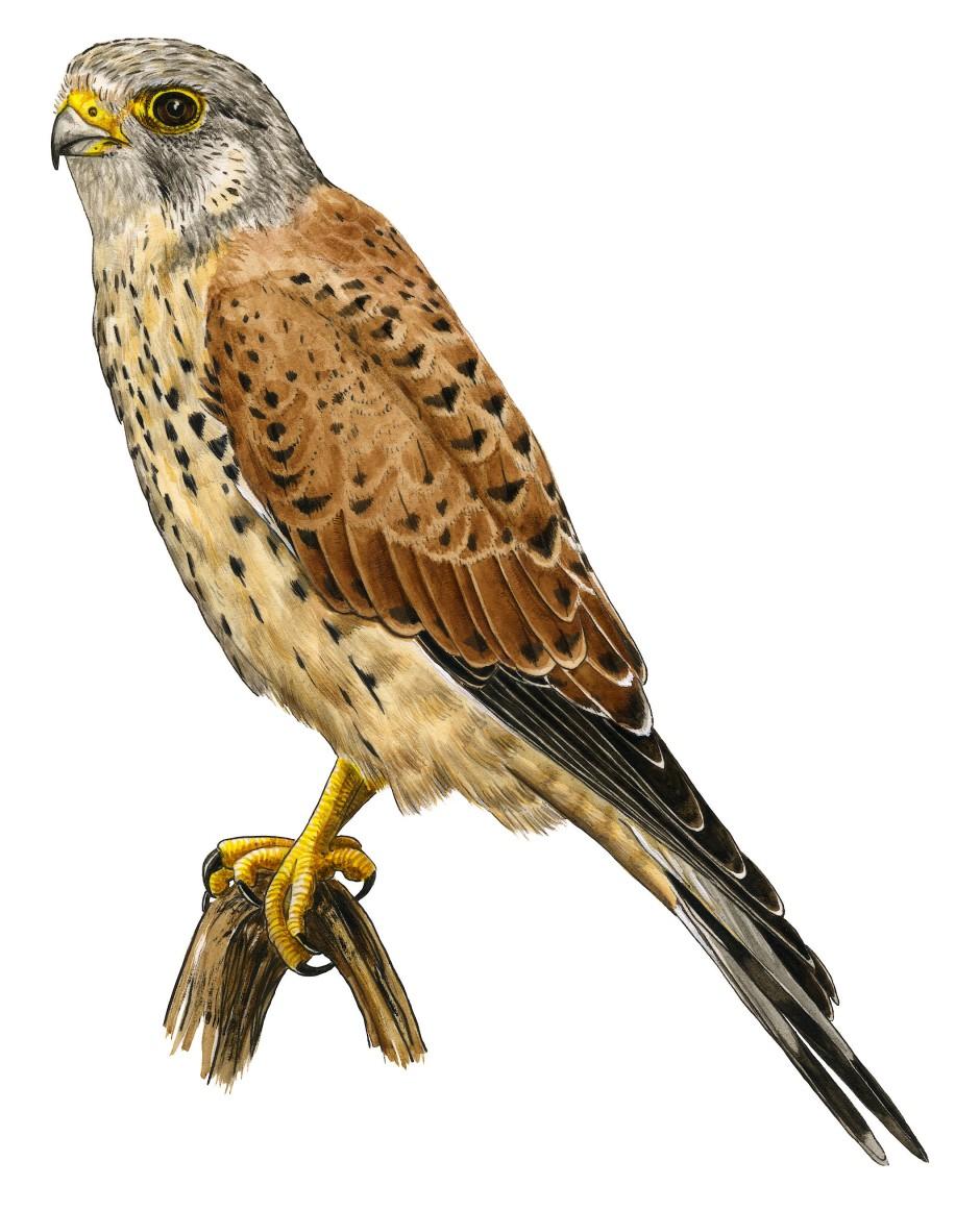 Vogel des Jahres 2007: Der hübsche Turmfalke steht oft rüttelnd in der Luft und späht nach Beute.