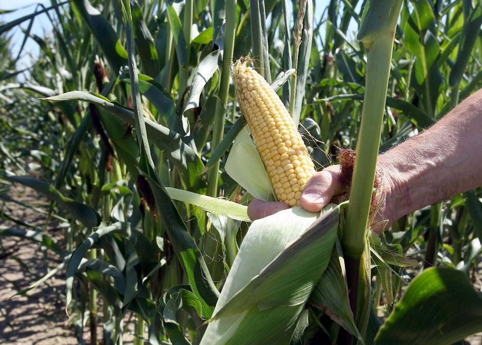 Auch auf einem Versuchsfeld des Landwirtschaftlichen Technologiezentrums Augustenberg bei Forchheim wird gentechnisch veränderter Mais angebaut.