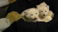 Seltene weiße Löwenbabys sind die Stars im Magdeburger Zoo
