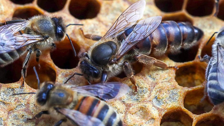 Die südamerikanische Plebeia droryana hält sich im Gegensatz zu den deutschen Bienen (im Bild) vom Koffein-Kick fern.