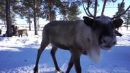Rentierzüchter gegen Ölmultis in Sibirien