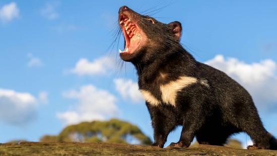 Freiheit für die Tasmanischen Teufel