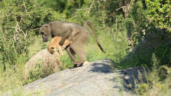 Pavian klaut Löwenbaby