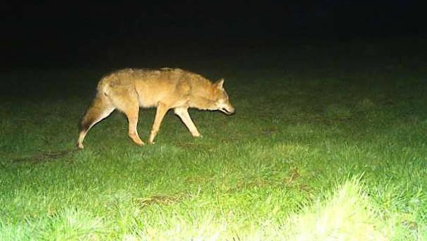 Zweite Wölfin in Hessen zu Hause