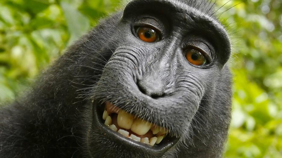 Affe am Drücker: ein indonesischer Makake entdeckt die Magie des Selfie