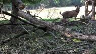 Wildnis im Rotwildgehege: Die Fasanerie in Wiesbaden nach dem Unwetter der vergangenen Woche