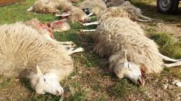 Wölfe reißen rund 40 Schafe und Ziegen