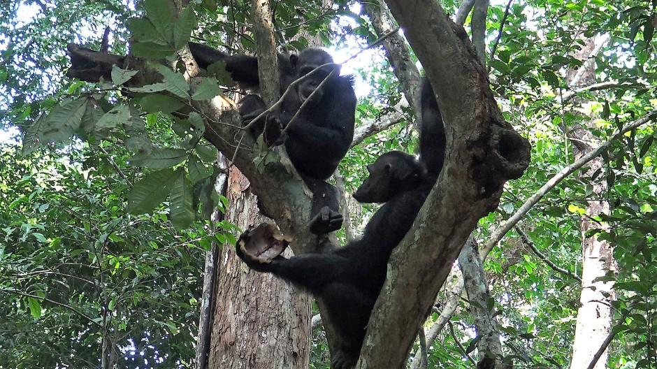 Schimpansen knacken Schildkröten