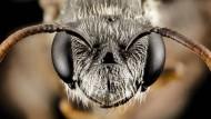 """Diese Euryglossidia-Art aus Westaustralien wartet noch auf eine detaillierte Beschreibung und Namensgebung, bisher wird sie """"Pinocchio"""" genannt. Die frontale Aufnahme von Sam Droege verdeutlicht, dass ihre Nasenpartie ungewöhnlich spitz ist. Wozu? Es könnte ein Werkzeug sein und der Nestpflege dienen, um bereits verschlossene Brutzellen wieder öffnen und den Nachwuchs schützen zu können. Oder um an schwer zugänglichen Nektar oder an das Blütenöl der besuchten Pflanzen heranzukommen."""