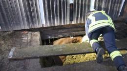 Feuerwehr rettet Rind aus Güllegrube
