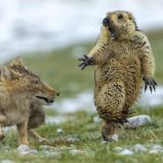 Der Jagdinstinkt des Fuchses, der Fluchtinstinkt des Murmeltiers. Aufgenommen im Hochland von Tibet.