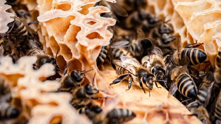 Zwölf Bienenvölker des Instituts für Bienenkunde leben in der Nähe der Start-und-Lande-Bahnen am Flughafen.