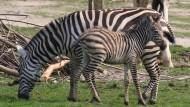 """Nachwuchs im Opel-Zoo: Zebra-Fohlen """"Hodari"""" ist zur Welt gekommen."""