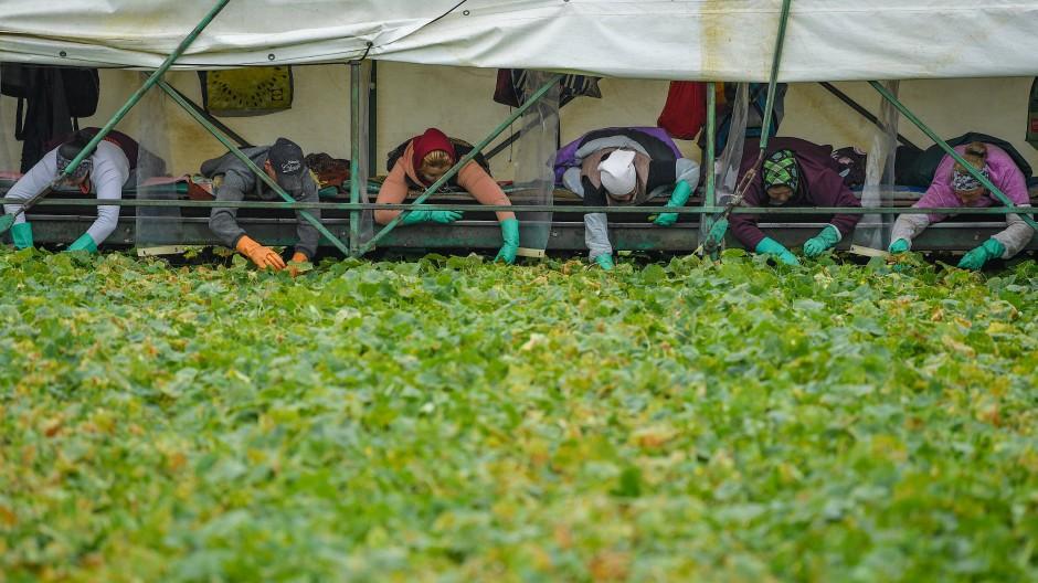 Rumänische Erntehelfer ernten unter körperlicher Höchstleistung Gurken.