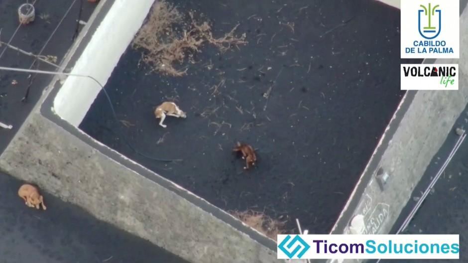 Fernsehaufnahmen einer Drohne: Die Hunde waren in der Gegend von Todoque von Lavaströmen umschlossen.