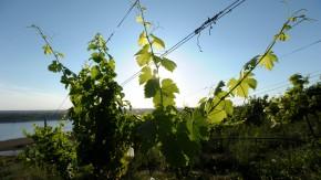 Weinbau an den Haengen eines alten Tagebaus