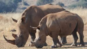 Weniger Nashörner Opfer von Wilderern