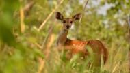 Da ist was im Busch: Das Dickicht des Bouba-Ndjida-Nationalparks gilt als eines der größten Schutzgebiete Afrikas. Doch so idyllisch wie der Anblick des Buschbocks ist der Nationalpark nicht. Wilderer erlegten im Frühjahr mehr als 200 Elefanten