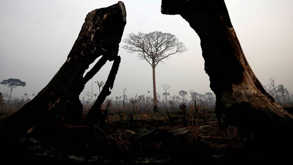 Baumstümpfe und abgebrannte Stämme im brasilianischen Amazonasgebiet rund um Boca de Acre.