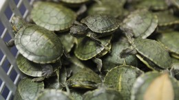 Rund 5000 Sumpfschildkröten beschlagnahmt