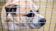 """Der Staffordshire-Terrier-Mischling """"Chico"""" biss in der vergangenen Woche seine Besitzer tot."""