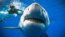 Riesiger Hai vor Hawaii