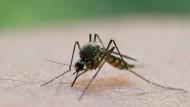 Ungefährlich: Diese Stechmücke hat zugestochen. (Symbolbild)