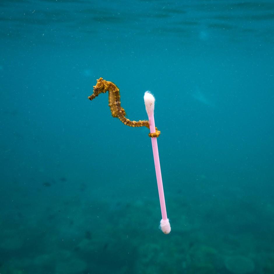 Ein Foto, das um die Welt ging: Das Seepferdchen griff sich ein Ohrstäbchen im Meer vor Indonesien. Auch Tiere im Mittelmeer sind immer gefährdeter.