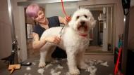 Geduldig: Nicht jeder Hund hält bei der Fellpflege so still wie Goldendoodle-Hündin Ilvy.