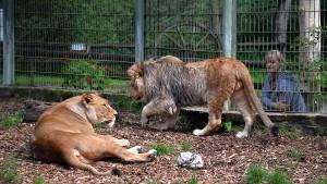 Raubkatzen können im Eifel-Zoo bleiben