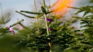 Der Weihnachtsbaum kostet dieses Jahr mehr