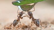 Für Ameisen sind Blattläuse und Zikaden wichtige Lieferanten für nahrhaften Honigtau