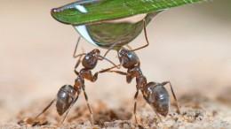 Zuckersüße Symbiose im Insektenreich