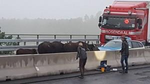 Vollsperrung der A3 wegen Wasserbüffel