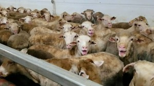 Tausende Schafe qualvoll auf australischem Frachtschiff verendet