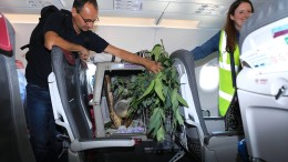 Koala fliegt Holzklasse nach Edinburgh