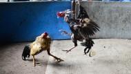 Blutige Hahnenkämpfe begeistern Thailänder