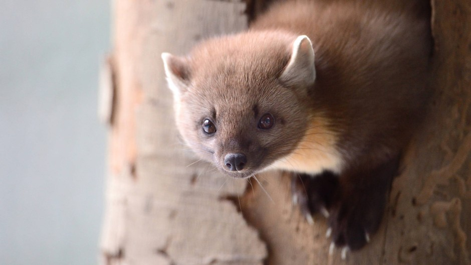 Wo der Baummarder auftaucht, können Eichhörnchen aufatmen.