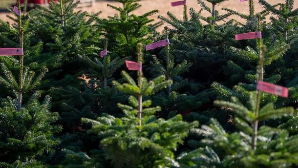 Öko-Weihnachtsbäume wachsen weiter