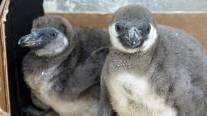 Zwei Pinguinküken getötet – Elterntiere sterben an Stress
