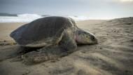 Invasion der Schildkröten