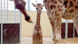 Erstmals Rothschild-Giraffe in Barcelona zur Welt gekommen