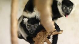 Lemuren-Drillinge im Prager Zoo
