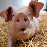 Das Tierwohl-Label soll Schweinen ein glücklicheres Leben bringen.